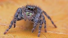 Phidippus audax bold jumping spider (Tibor Nagy) Tags: portrait macro closeup spider eyes arachnid flash jumper softbox diffuser diffused jumpingspider audax arthropod salticid phidippus palps salticidae mandibles setae chelicerae