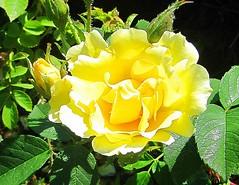 Rosa (Aldo433) Tags: rosa queenrose