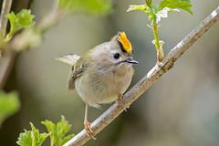 JWL3176  Goldcrest.... (jefflack Wildlife&Nature) Tags: nature birds countryside woodlands wildlife ngc npc avian warbler goldcrest songbirds gardenbirds wildbirds warblers