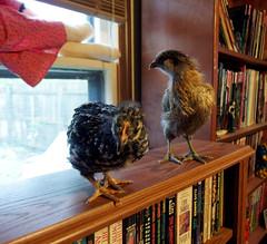 Weetzie Bat and Miss Hazel Handkerchief on a bookshelf (benchilada) Tags: chickens chicken bat bookshelf hazel handkerchief miss weetzie chickum chickums
