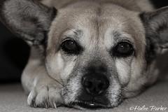 IMG_1747 (haileeparker) Tags: bw dog puppy eyes sleepy nails cannon