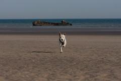 Wiggo on Broomhill Sands (ghostwheel_in_shadow) Tags: dog beach cambersands terrier jackrussell camber parsonrussell parsonrussellterrier broomhillsands wiggobeach
