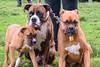 16-05-15_untitled_164 (Daniel.Lange) Tags: dog philadelphia dogs dogdayafternoon spado columbussquarepark