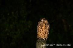 IMG_4075 (sullivan) Tags: nature animal dof bokeh taiwan sullivan            ef300mmf4lisusm   canoneos7d tawnyfishowl  ketupaflavipes      newtaipeicity     adobephotoshoplightroom5 suhaocheng
