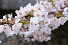 DSCF3242 (Nepopo!) Tags: japan kyoto fuji cherryblossom sakura fujifilm takasegawa kiyamachi xpro2