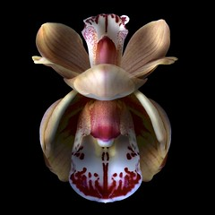 Cymbidium Duo (Explore) (Pixel Fusion) Tags: orchid flower macro nature flora nikon cymbidium d600