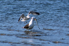 The gull and the garfish #8 (Ib Aarmo) Tags: sea nature water outdoor seagull gull eat feed swallow garfish
