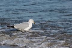 On the Beach (WalrusTexas) Tags: ocean blue bird beach water gull
