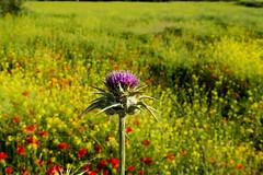 Flor de cardo mariano (juanda021282) Tags: flores primavera campo papaver amapolas amapola rhoeas valdemoro