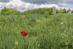 heath 23-5-16-2 (law-photography2014) Tags: yorkshire heath poppy poppies wakefield westyorkshire canon1740l leeward heathcommon canon6d lawphotography leewardatlawphotography
