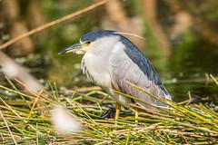 Black Crown Night Heron, Wakodahatchee Wetlands (Bill Varney) Tags: black bird heron night florida outdoor wildlife wetlands crown avian wading billvarney