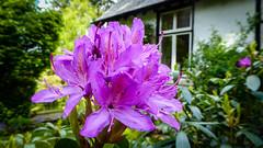 this caught my eye (grahamrobb888) Tags: house flower scotland woods purple perthshire tz60 tz60sunny
