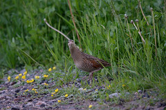 What you lookin' at (Tuomo Nykänen) Tags: crake lintu corncrake finnishbirds suomenlinnut ruisrääkkä rääkkä