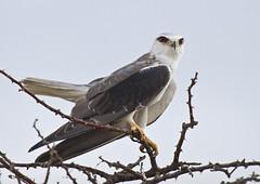 Blck-shld-kite_9798 (Peter Warne-Epping Forest) Tags: kite nature canon wildlife meat raptor hunter eater namib scrubland elanus blackshouldered axillaris avianexcellence