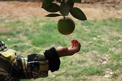 (عفاف المعيوف) Tags: ليمون خضرة ثمرة قطاف ثمرات
