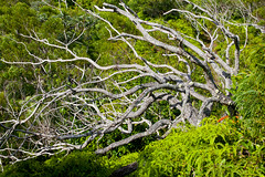 "Ohi'a Tangle • <a style=""font-size:0.8em;"" href=""http://www.flickr.com/photos/55747300@N00/6409138113/"" target=""_blank"">View on Flickr</a>"