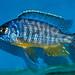 Protomelas sp. 'steveni taiwan' Taiwan Reef