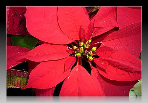 Flor De Nochebuena   P1090179
