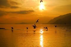 Lac de Bienne animation et coucher de soleil (jd.echenard) Tags: sunset switzerland soleil suisse animation bern vol sonne berne sonneuntergang mouette coucherdesoleil biel bienne bielersee seeland nikond200 lacdebienne