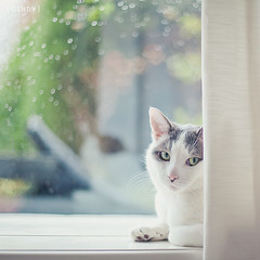 rain ({cindy}) Tags: family white home window rain cat canon garden square bokeh curtain cream raindrops vanilla everydaylife