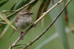 Moineau du Cap-Vert femelle (belgobreizh) Tags: novembre sparrow brava oiseau caboverde moineau capeverde capoverde capvert 2011 iagosparrow passeriagoensis moineauducapvert passeradicapoverde grotebruinemus
