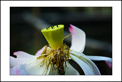 lotus #3 [explored] (e.nhan) Tags: life pink light white black flower green art nature water closeup colours shadows dof lotus bokeh late backlighting enhan