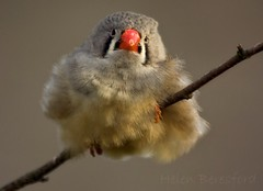 It's cold outside... (Helen Beresford) Tags: bird branch ngc beak feathers fluffy finch npc zebrafinch ruffled twycrosszoo specanimal
