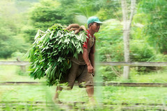 #850C7062- The Cassava Picker (crimsonbelt) Tags: panning waduk cassava picker balikpapan manggar