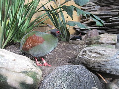 Crested wood partridges (heidomerg) Tags: winter birds animals december rochester zoos partridges 2011 senecaparkzoo