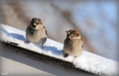 Cold Feet (JosieN2010) Tags: roof winter snow cold cute nature birds nikon wildlife fourseasons coldfeet housesparrows nikond3000 thewonderfulworldofbirds