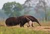 Giant Anteater (Myrmecophaga tridactyla) (PeterQQ2009) Tags: brazil mammals pantanal giantanteater myrmecophagatridactyla