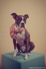 Gretta (WOLF CHOIR) Tags: dog boxer bandana mixedbreed dogportrait dogglamourshot vintagedog dogoncube kindaruffdawg americanidolreference