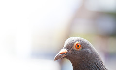 Okay I am here! (SkyWalker108) Tags: macro bird nature closeup outdoor pigeon wildlife sunny 365 day52 project365 skywalker108