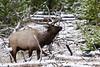 Yellowstone Wildlife (bhophotos) Tags: travel snow nature geotagged nikon wildlife bull yellowstonenationalpark yellowstone wyoming elk ynp madisonvalley 200400mmf4gvr d700 bruceoakley