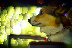 Silent Lights (moaan) Tags: christmas xmas dog digital canon 50mm lights corgi dof bokeh profile illuminations utata welshcorgi f095 2011 rd1s pochiko epsonrd1s canon50mmf095 goldenbokeh