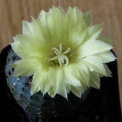 Frailea asterioides (Klavdiy Kispoev) Tags: frailea кактусы