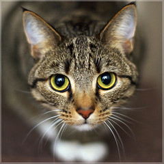 Can you be trusted? (Explored) (hehaden) Tags: rescue face cat square eyes tabby kitty shorthaired bestofcats
