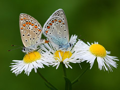 Common Blue(Polyommatus icarus) Brasov, Transylvania, Ro (Valerian M.) Tags: world blue canon butterfly europa europe butterflies romania transylvania canoneos transilvania brasov commonblue romanians polyommatusicarus butterflyworld lycaenidae silverstudded top20butterflymoth polyommatinae silverblue romnia lycaeninae azur europeanbutterflies argusbleu 1000d canoneos1000d eosdigitalrebelxs butterflieseurope fluturidinromnia mygearandme butterfliesofeurope butterflyworldproject butterfliesro butterflyromnia eosdigitalrebelxscontent fluturiromania fluturiromnia