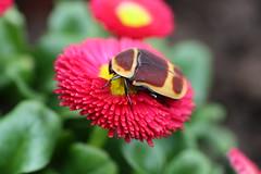Pachnoda marginata peregrina (Mashku) Tags: flower nature beetle insects beetles coleoptera pachnoda cetoniidae cetoniini cetoniine
