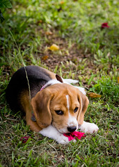 Grace (Matthew Post) Tags: dog flower beagle puppy explore hibiscus tamron 70200 explored i500