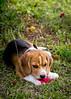 Grace (Matthew Post) Tags: dog flower beagle puppy explore hibiscus tamron 70200 explored i500