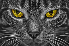 Fierce (jrobblee) Tags: portrait blackandwhite bw pet cats pets white black color colour love face animal animals cat canon fur eos blackwhite intense eyes furry feline selection chloe whiskers whisker stare felines staring cateyes loveable selective lightroom cateye 50d colourselection colorselection colourselective canoneos50d canon50d colorselective beginnerdigitalphotographychallengewinner