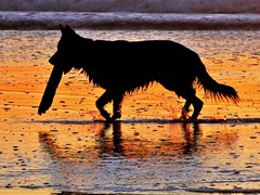 Dog Heaven (moonjazz) Tags: california dog pet love beach nature wet animal fur gold niceshot games catch frisbee wade paws dogbeach retrieve cannine