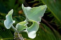 The shapely succulent (Deb Jones1) Tags: green nature beauty leaves canon garden outdoors 1 jones leaf flora explore deb flickrduel