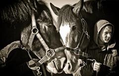 untitled-4-3 (Tony Golding) Tags: show horse forgetmenot shire breed rare equine shirehorse tonygolding heavyhorsephotography