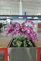 Orchides devant le comptoir d'enregistrement  Pkin. (XavierParis) Tags: airport nikon orchids beijing orchidaceae xavier aeropuerto xavi orquideas hernandez orchides fushia pkin aroport iberica d700 xavierhernandez xyber75 xavierhernandeziberica