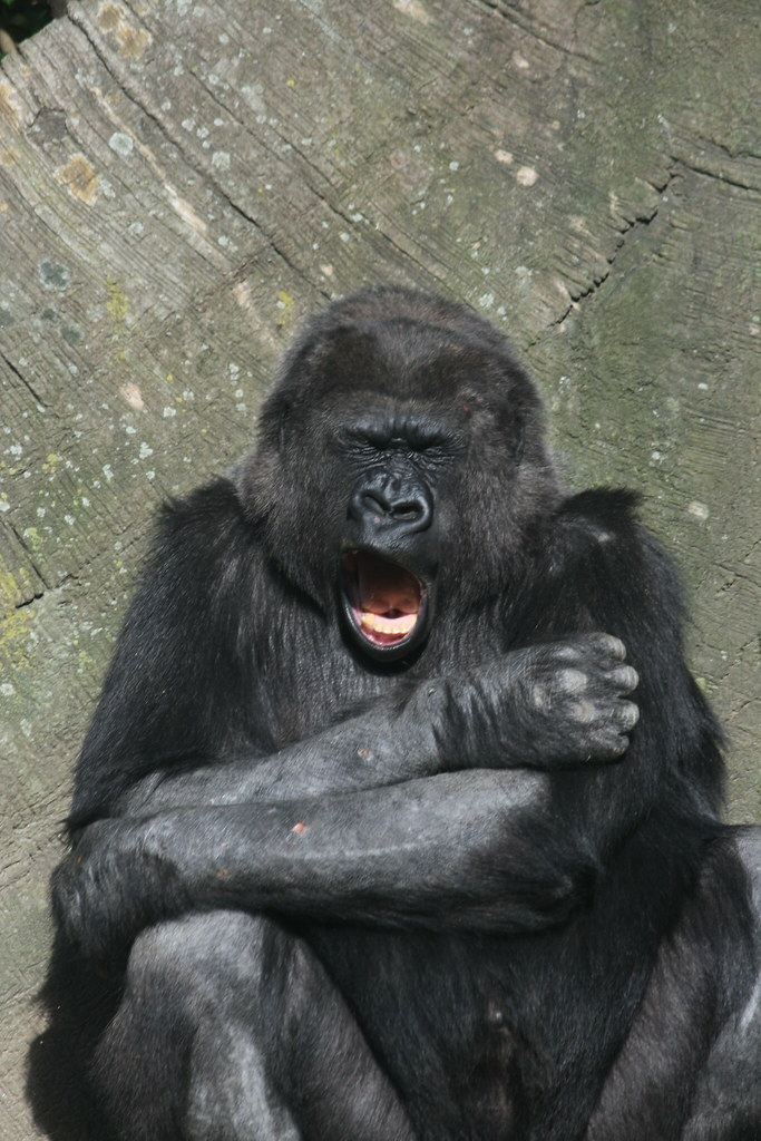 The World's Best Photos of gorilla and yawn - Flickr Hive Mind