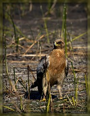 On guard (Nitin's Photography) Tags: wild bird feathers raptor littlerann