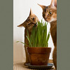 Grass is Good 2 (peter_hasselbom) Tags: cats grass cat 50mm flash usual pot claypot abyssinian ruddy twocats eatinggrass 2cats 2flashes