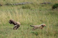 Speed Training (AnyMotion) Tags: africa travel nature animal animals cat cub tiere reisen kenya wildlife ngc natur npc afrika cheetah katze kenia gepard 2011 acinonyxjubatus masaimaranationalreserve anymotion canoneos5dmarkii 5d2